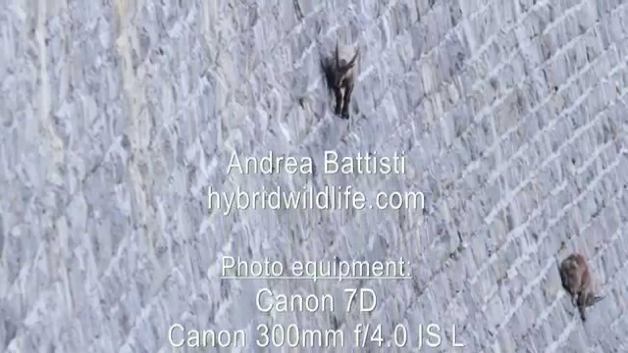 ダムの壁を登る野生のヤギ