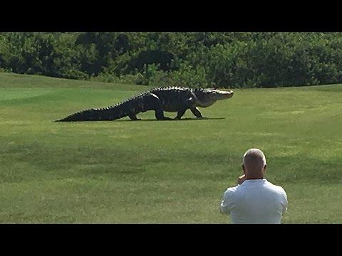 ゴルフコースに突如現れた巨大ワニ!